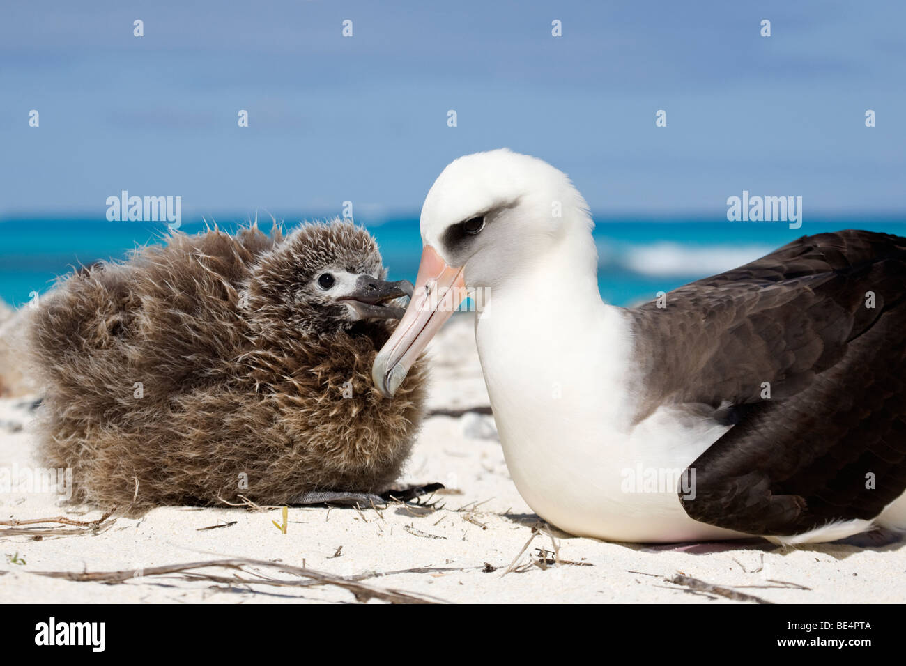 Laysan Albatross chick begging to be fed by parent, Midway Atoll - Stock Image