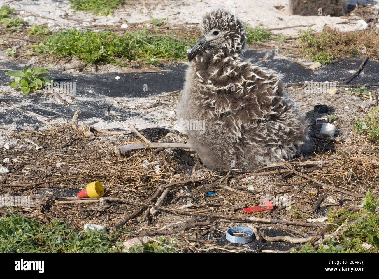Laysan Albatross chick with plastic remaining from the stomach of a dead bird that previously ingested the debris, Midway Atoll Stock Photo