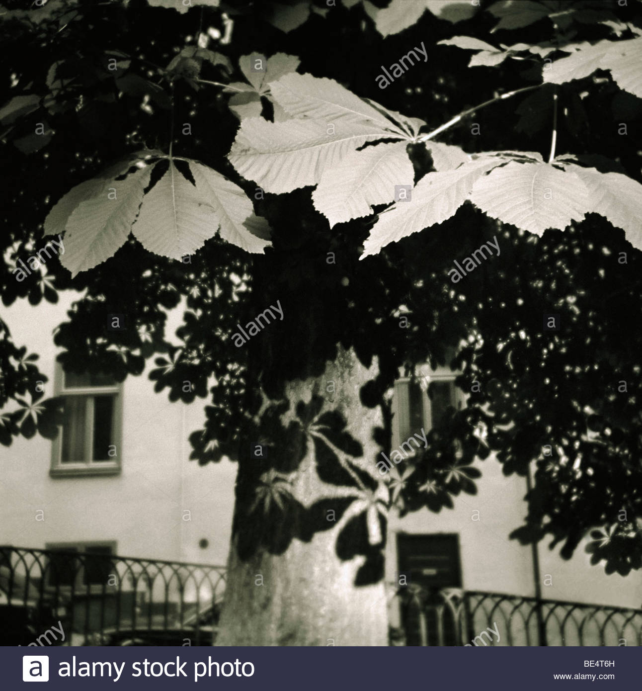 Sweden, Stockholm - Chestnut tree in front of a house Stock Photo