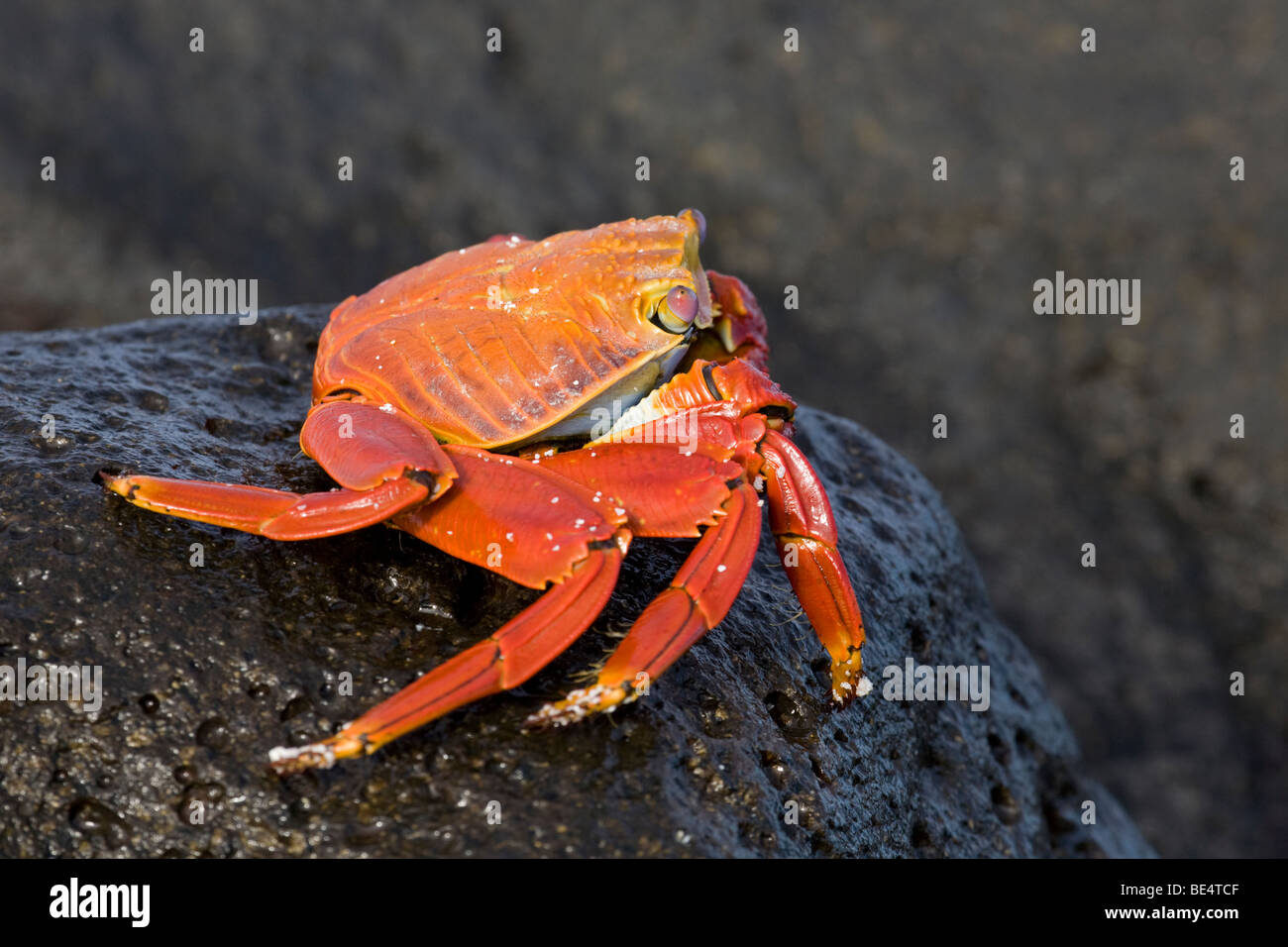 Sally Lightfoot Crab (Grapsus grapsus) on black lava rock in Galapagos National Park - Stock Image