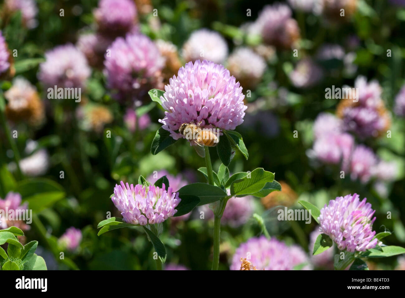 Honey bee pollinating a red clover flower in Oregon, USA. - Stock Image