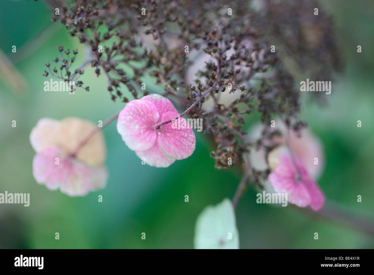 Delightful Flowering Wild Hydrangea Sargentiana Rustic Plant-fine art photography Jane-Ann Butler Photography JABP608 - Stock Image