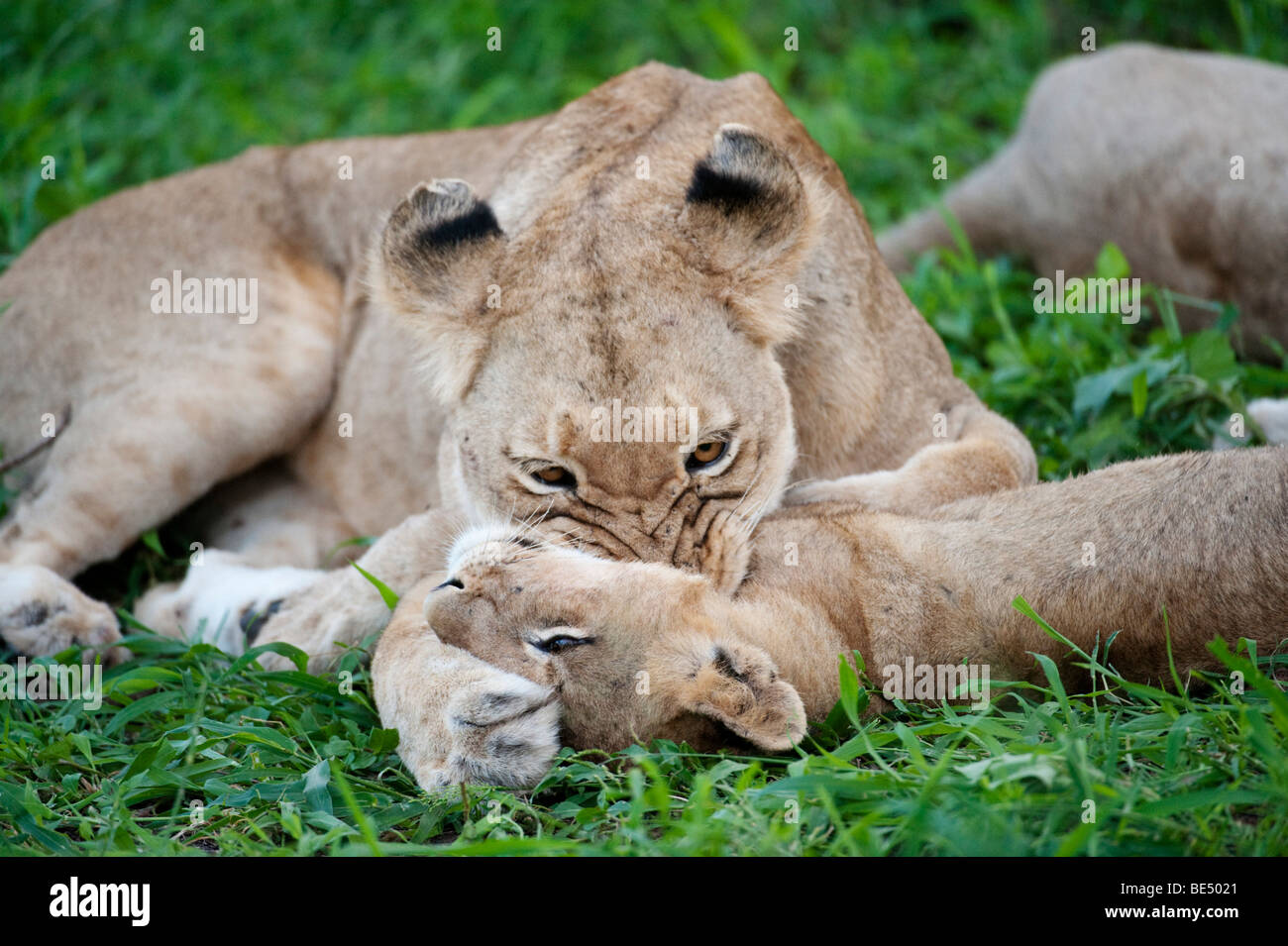 Lion playing with cub (Panthero leo), Kruger National Park, South Africa Stock Photo