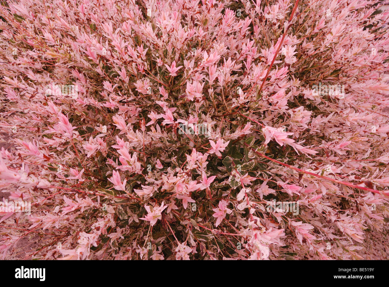 Blooming pink willow tree in summer stock photo 25926375 alamy blooming pink willow tree in summer mightylinksfo