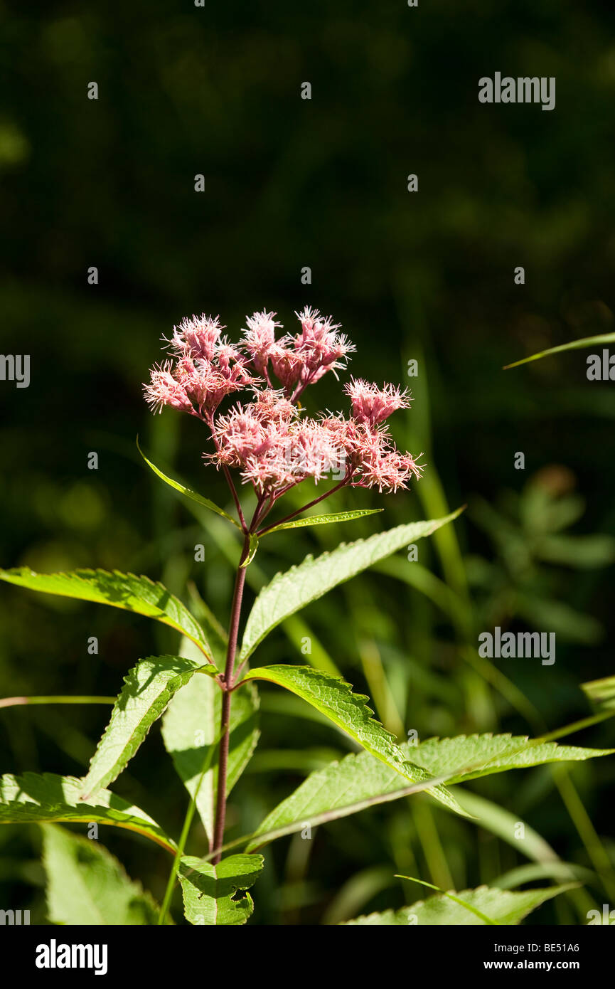 JOE PYE WEED GROWING IN THE SUPERIOR NATIONAL FOREST - Stock Image