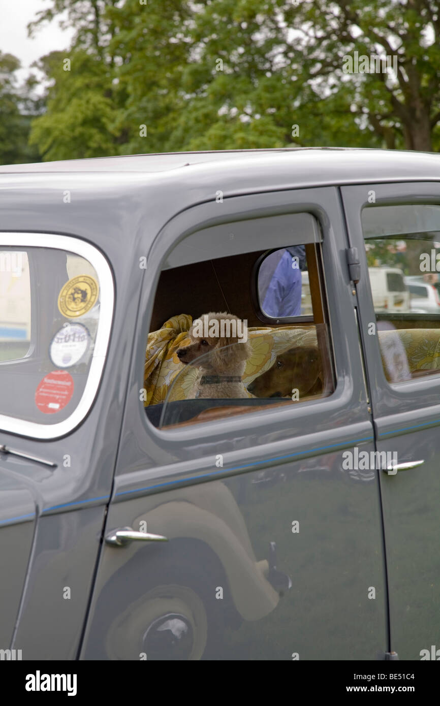 Two small dogs sitting in rear of 1947 Rover 16 - Stock Image