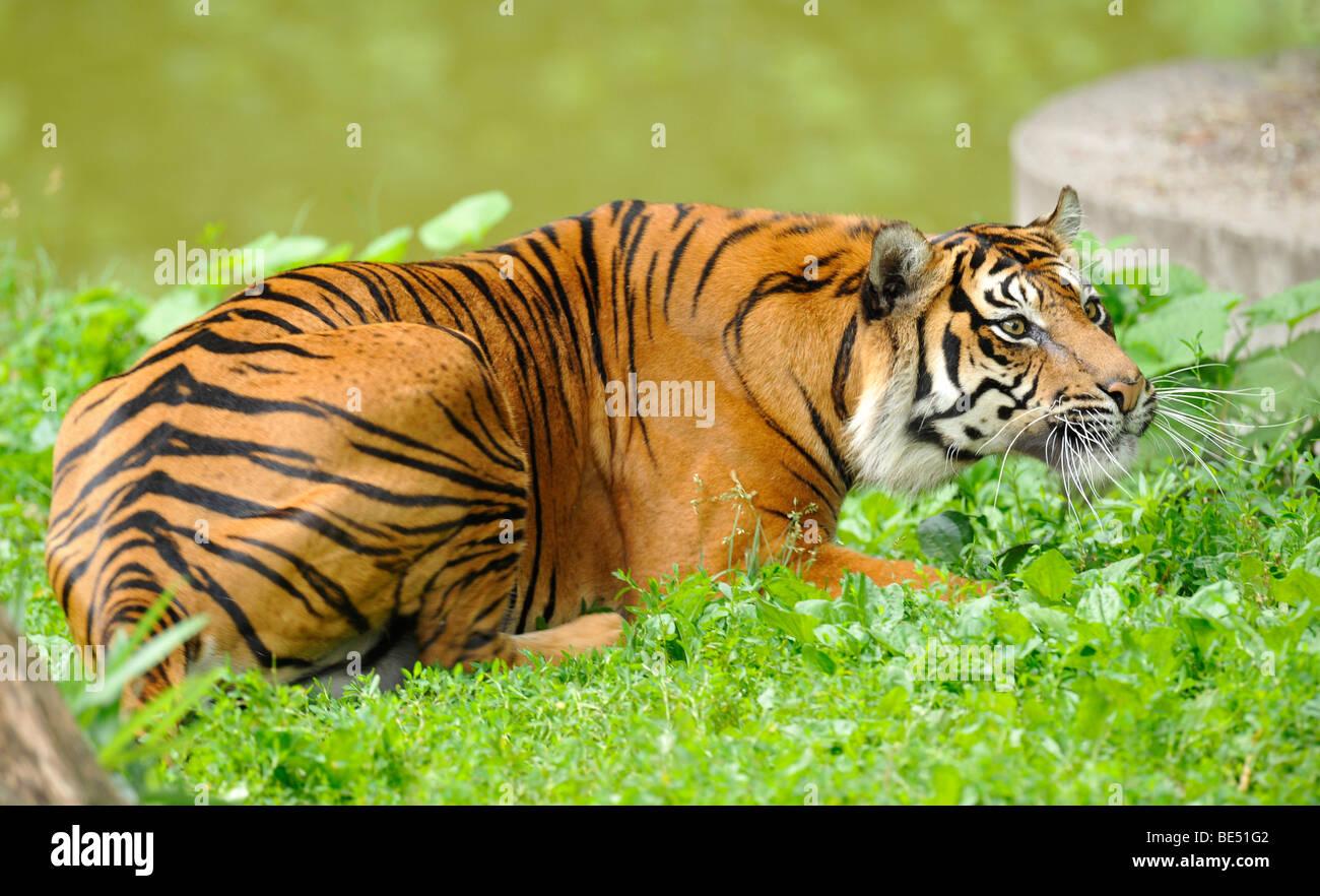 Sumatran tiger (Panthera tigris sumatrae) - Stock Image