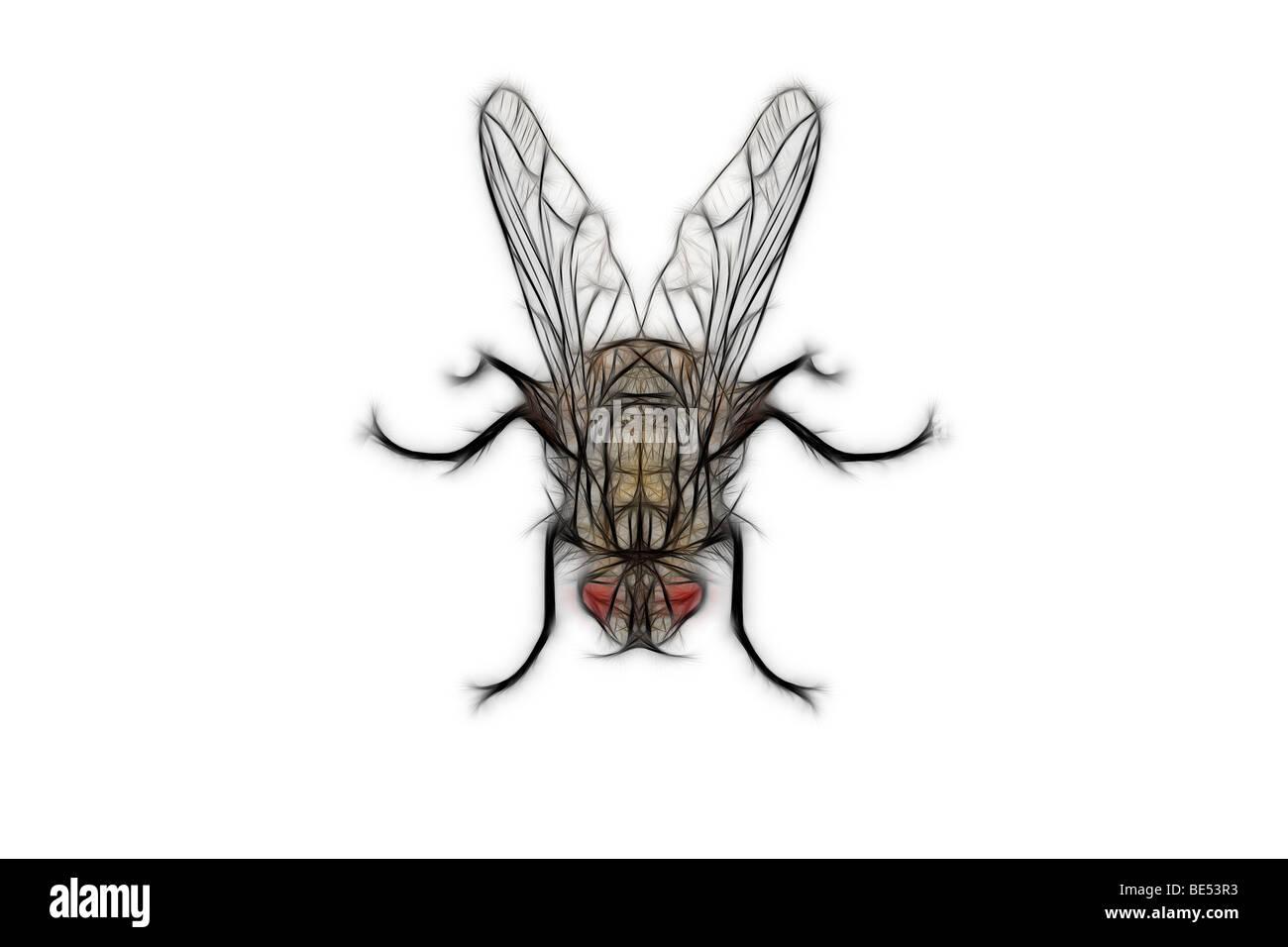 A digitally illustrated fly on a white background. Dessin assisté par ordinateur d'une mouche sur fond - Stock Image