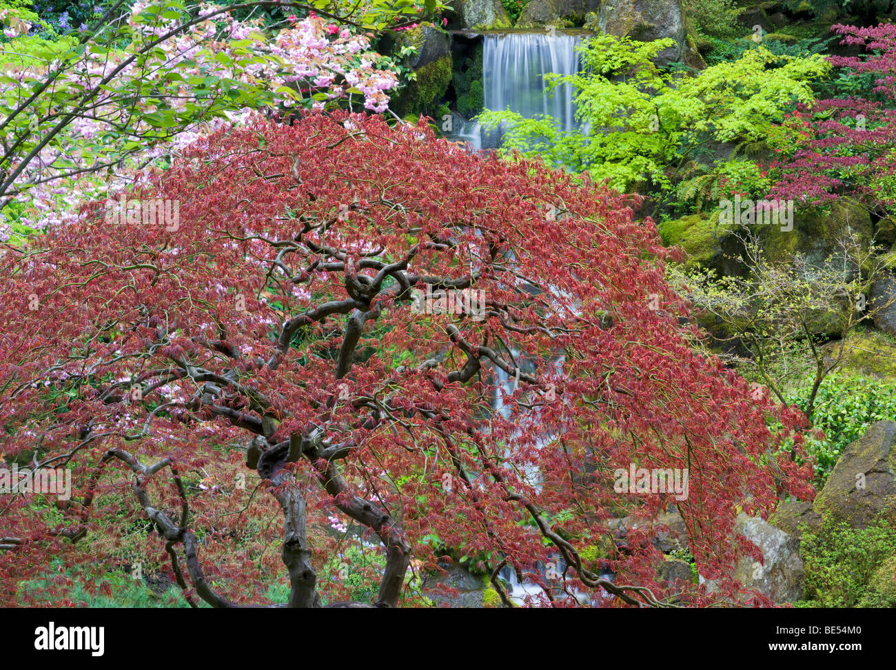 Waterfalls and cherry blossoms with Japanese maple early growth. Portland Japanese Gardens, Oregon. - Stock Image