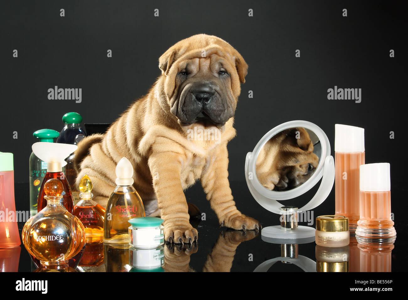 Shar Pei dog - puppy sitting between perfume bottles - Stock Image
