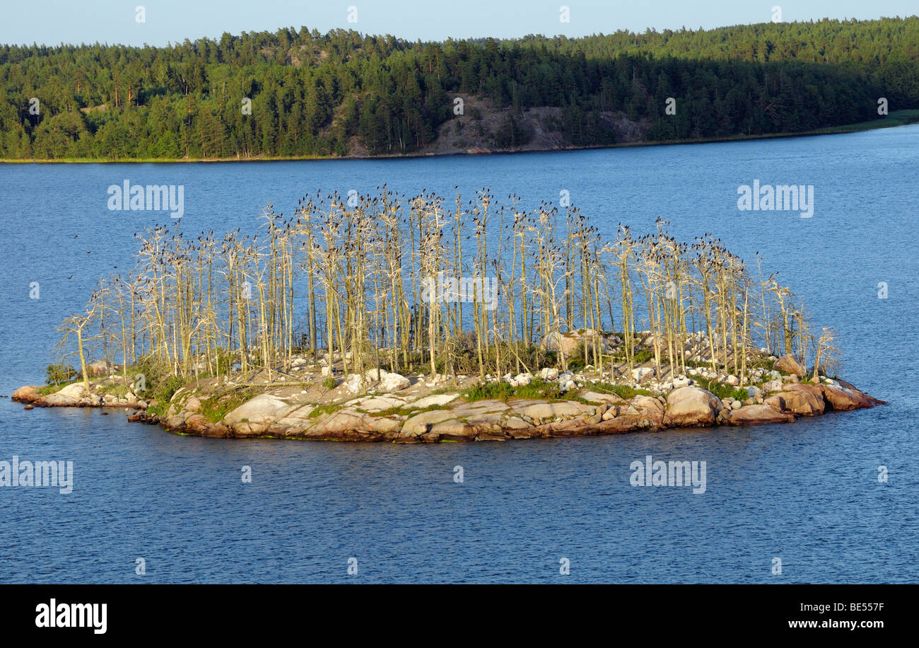 Cormorant colony, archipelago with islands, Stockholm, Sweden, Europe - Stock Image