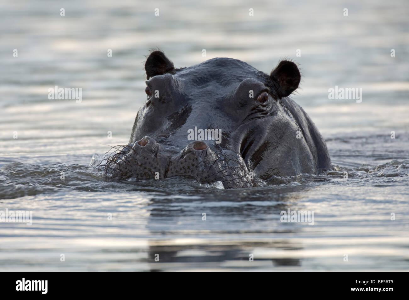 Hippopotamus (Hippopotamus amphibius), Okavango Delta, Botswana - Stock Image