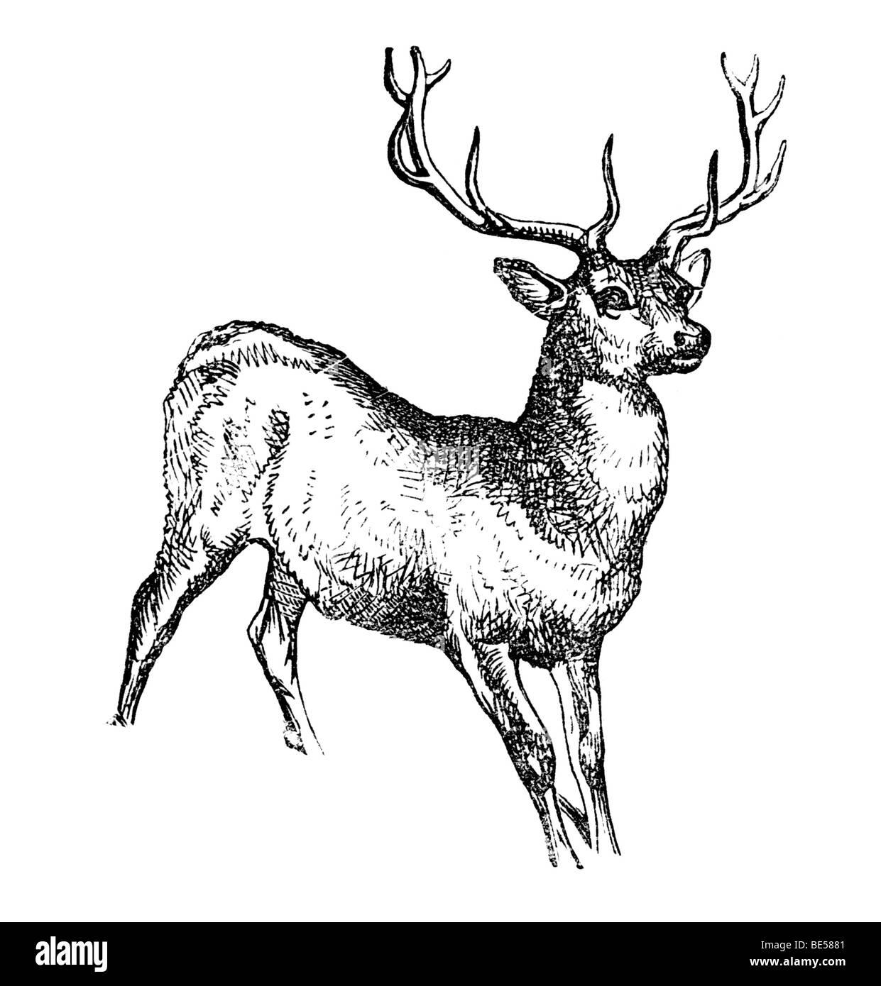 Buck, historical illustration from: Marie Adenfeller, Friedrich Werner: Illustriertes Koch- und Haushaltungsbuch, - Stock Image