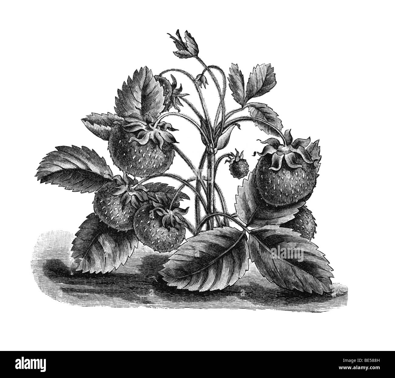 Musk strawberry, historical illustration from: Theodore Long: Allgemeines Illustriertes Gartenbuch, General Illustrated - Stock Image