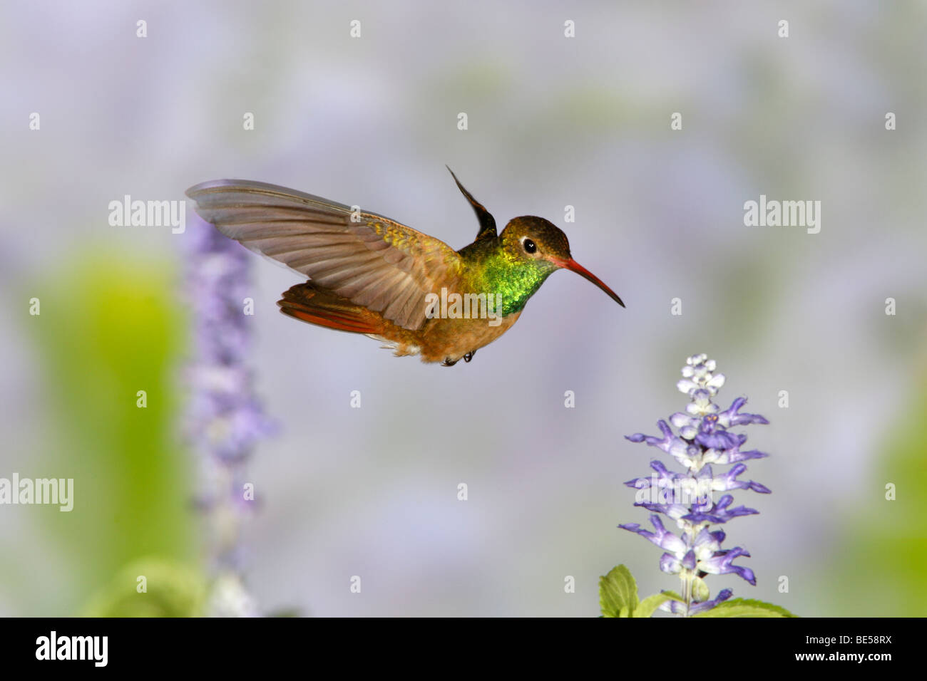 Buff-bellied Hummingbird seeking nectar from Salvia Blossoms - Stock Image
