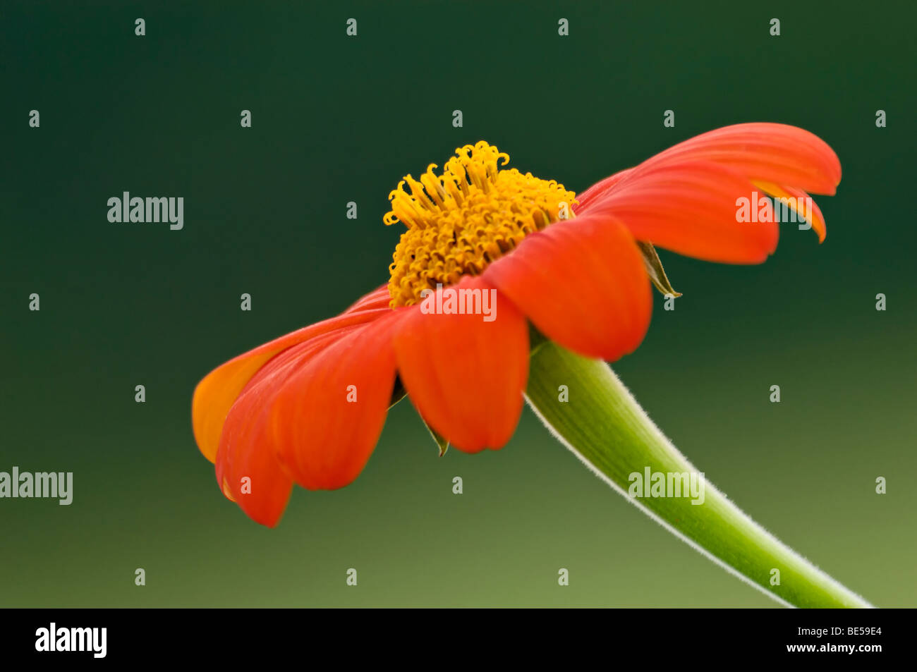 Mexican Sunflower Blossom - Stock Image