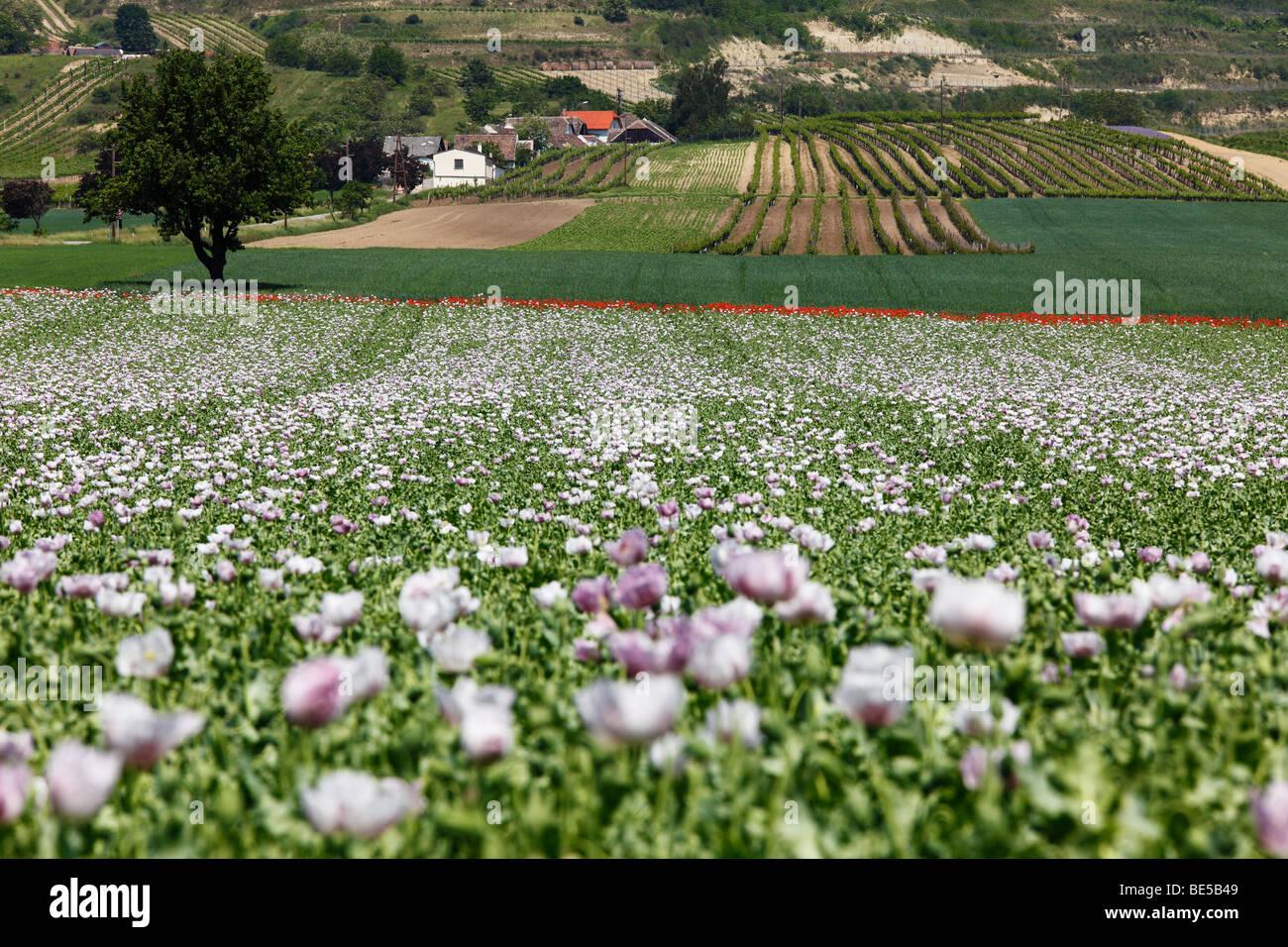 Field of Opium Poppies (Papaver somniferum), Haugsdorf, Weinviertel, Lower Austria, Austria, Europe - Stock Image
