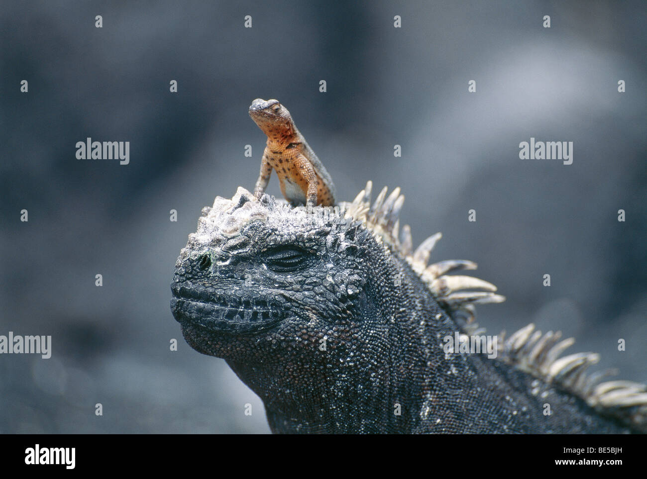 Lizard sitting on a marine iguana, Galapagos Islands, Ecuador, South America - Stock Image
