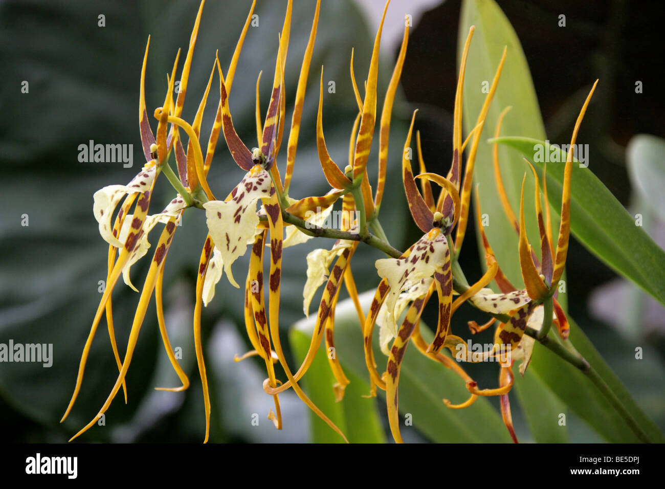 Spider Orchid, Brassia 'Chieftain', Orchidaceae, Oncidiinae, Cymbidieae. - Stock Image