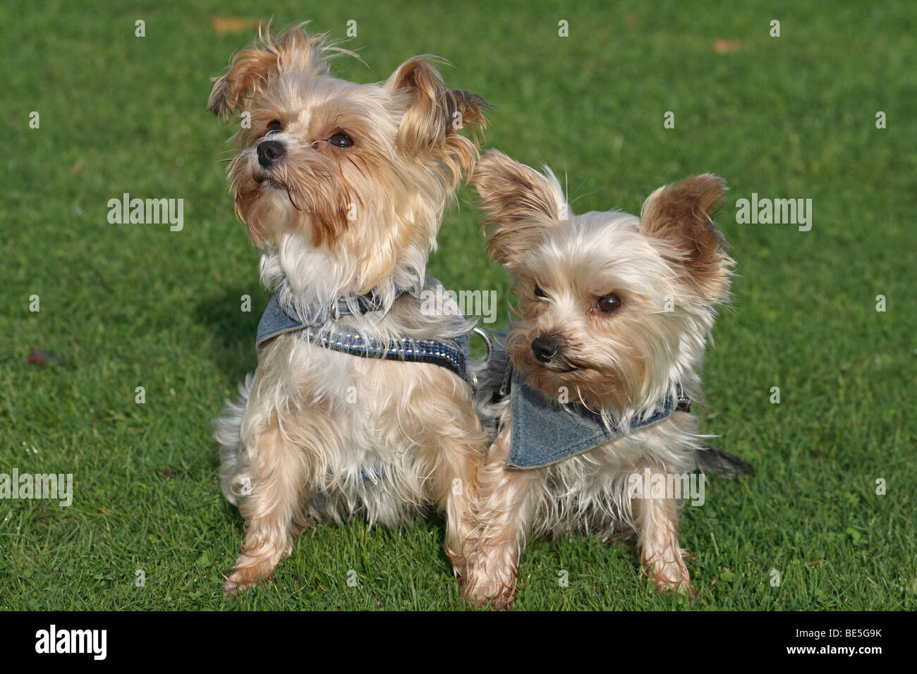 2 Yorkshire Terrier-Maltese hybrids sitting next to each other on a lawn - Stock Image