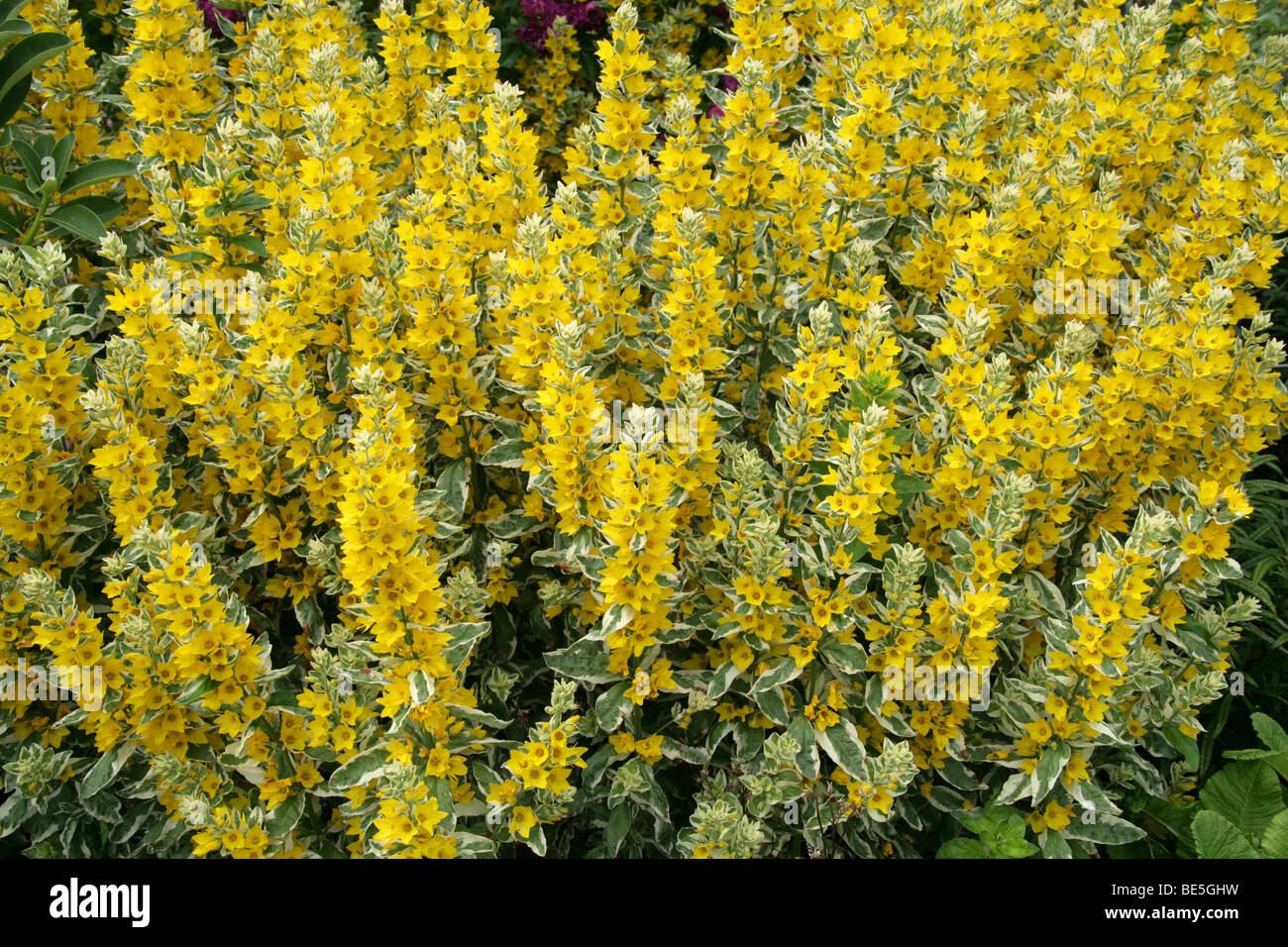 Variegated or spotted yellow loosestrife circle flower alexander variegated or spotted yellow loosestrife circle flower alexander lysimachia punctata myrsinaceae primulaceae europe mightylinksfo