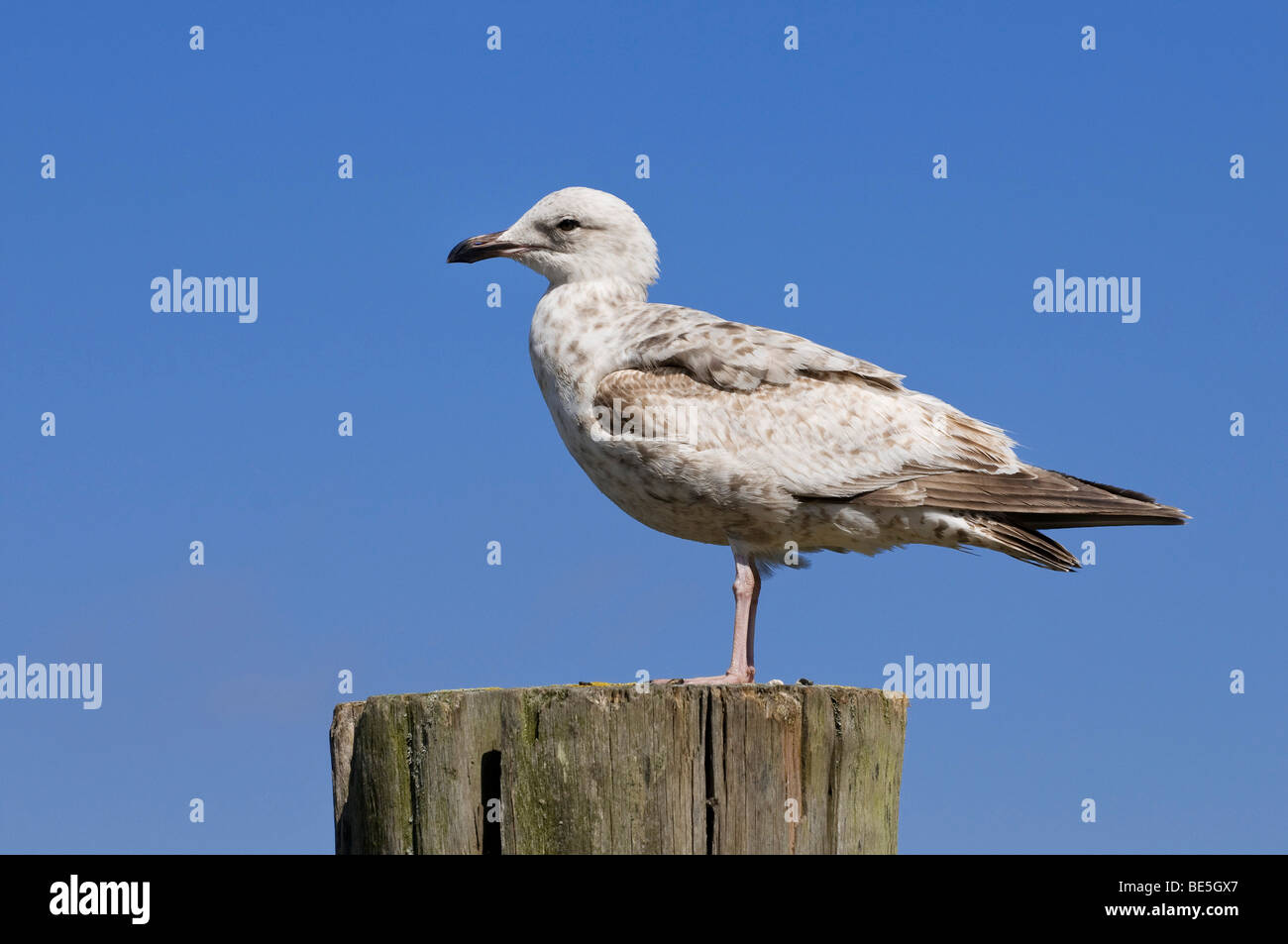 Young Herring Gull (Larus argentatus) in juvenile plumage on port bollard - Stock Image