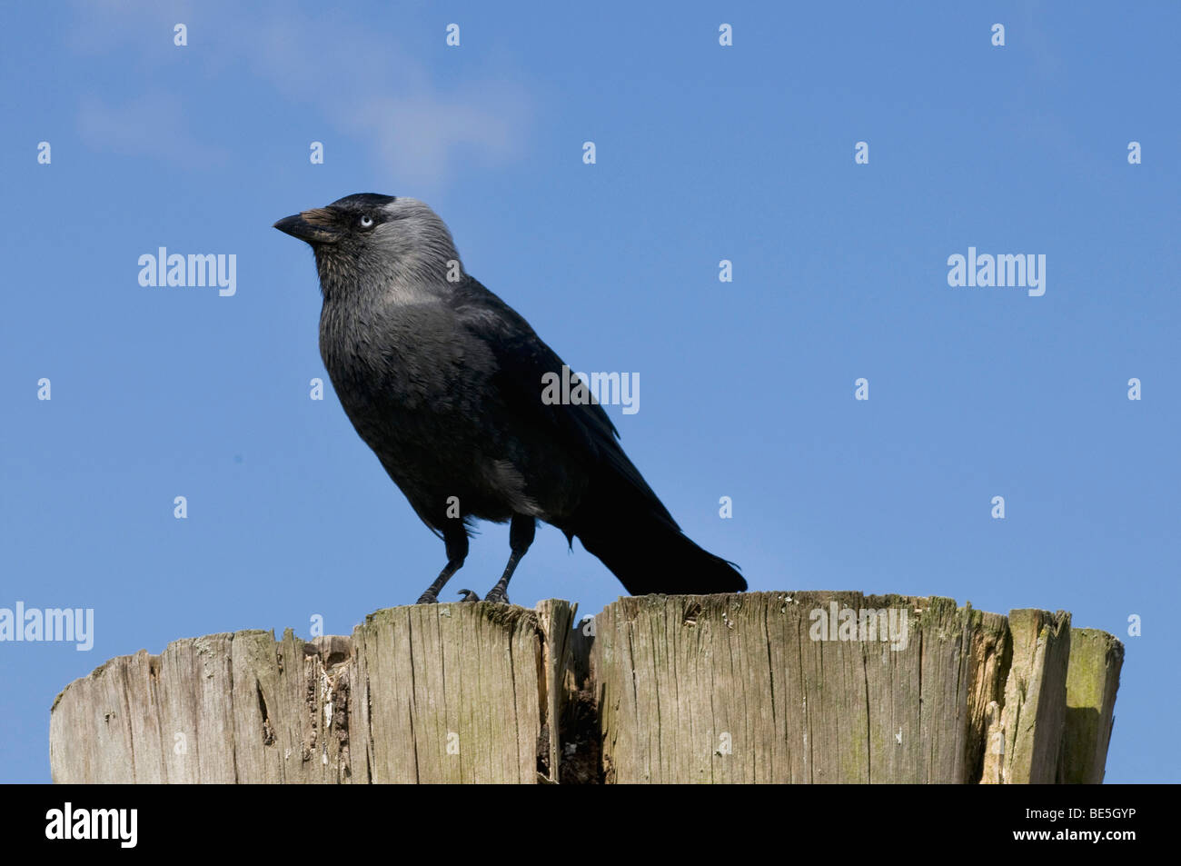 Jackdaw (Corvus monedula) on thick wooden bollard - Stock Image