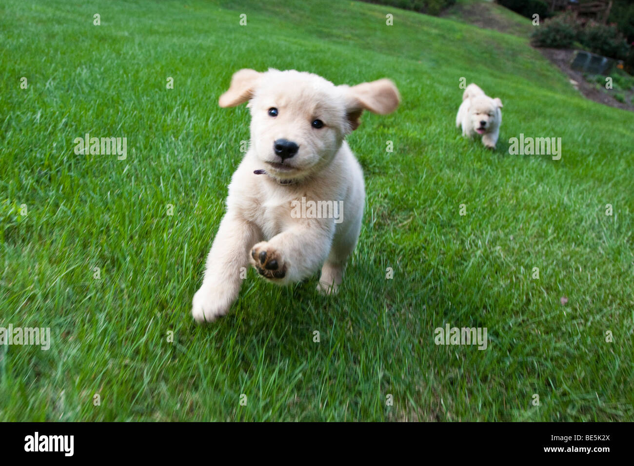 Eight week old Golden Retriever puppies running on the grass. - Stock Image