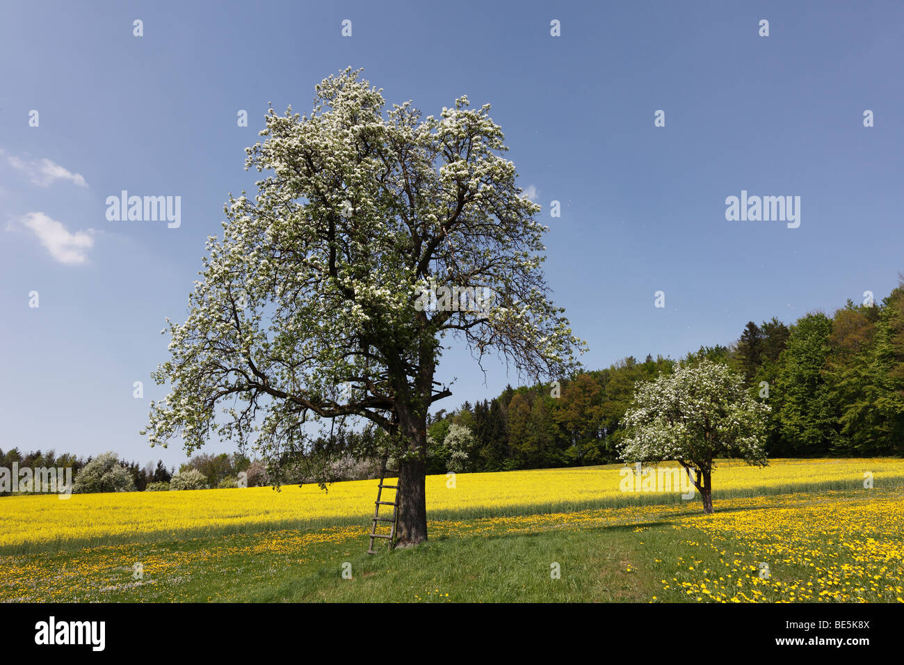 Blossoming pear trees near Steyr, Upper Austria, Austria, Europe Stock Photo