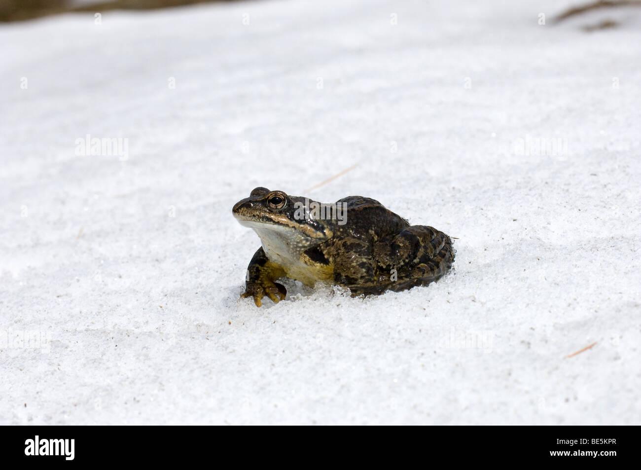 Rana temporaria anfibi anuri sangue freddo cold blood neve freddo inverno frog snow cold winter  Engadina Val Roseg - Stock Image