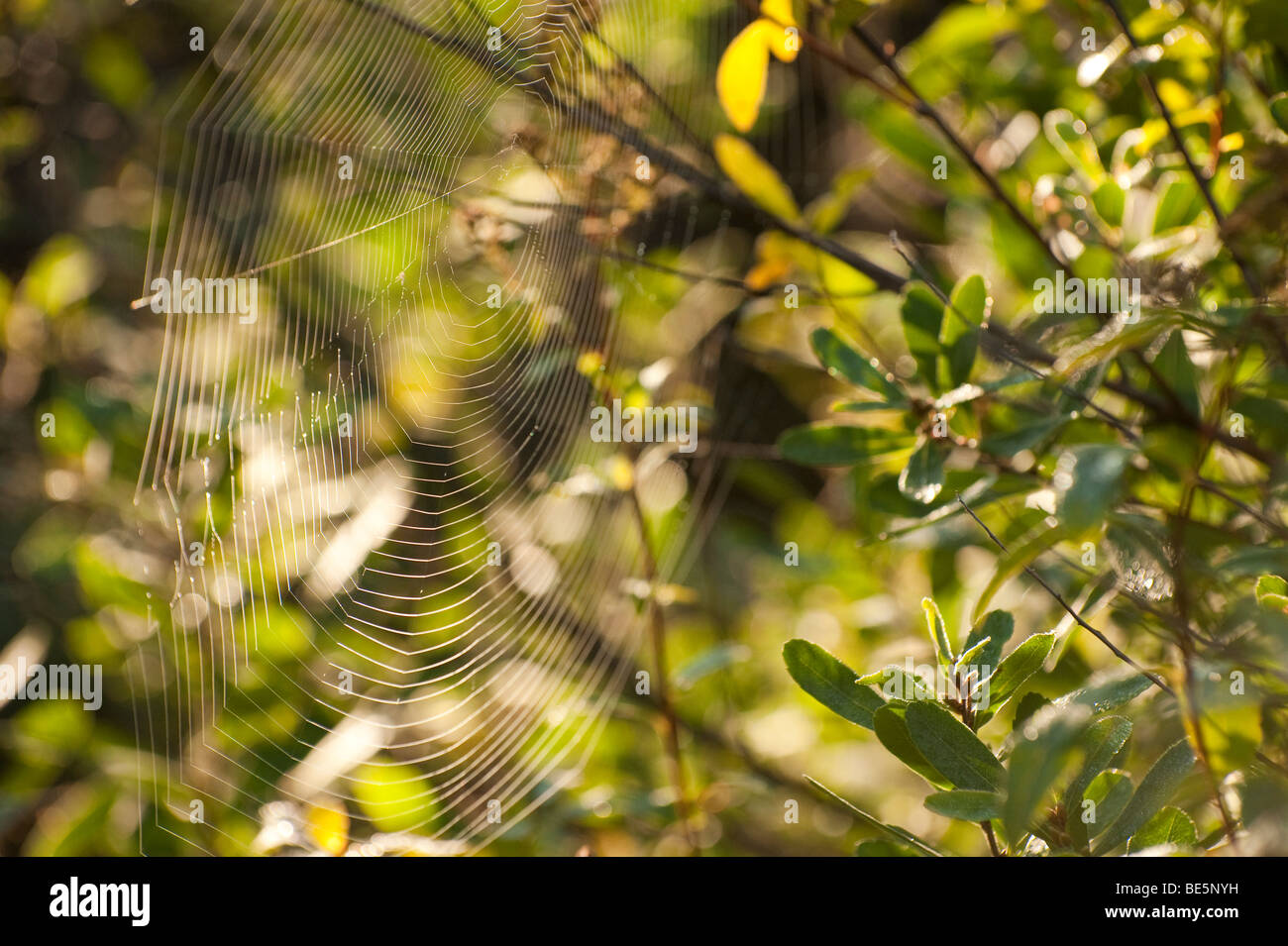 A SPIDER WEB LIT UP BY THE MORNING SUN - Stock Image