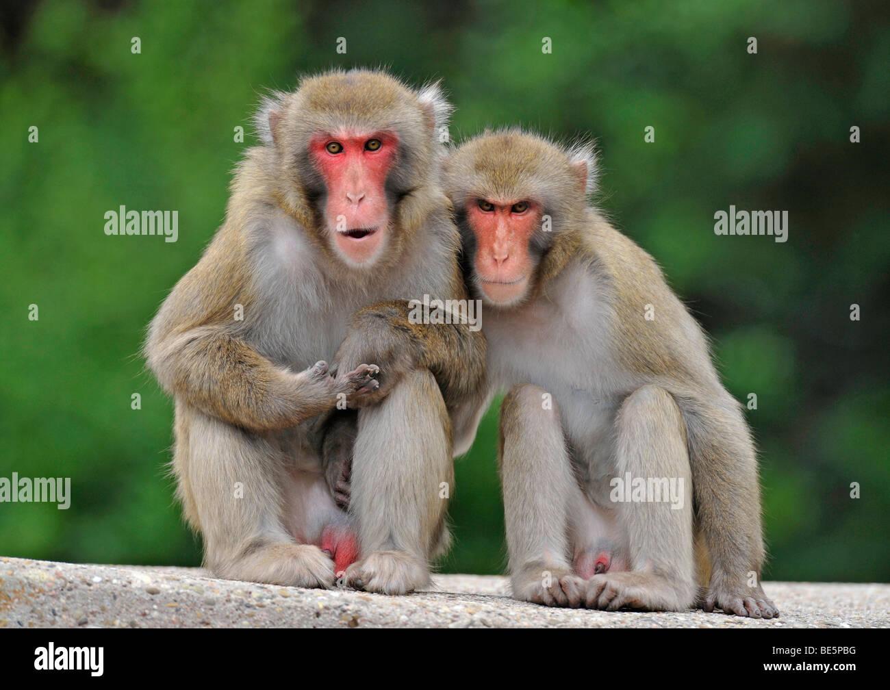 Japanese Macaques (Macaca fuscata) Stock Photo