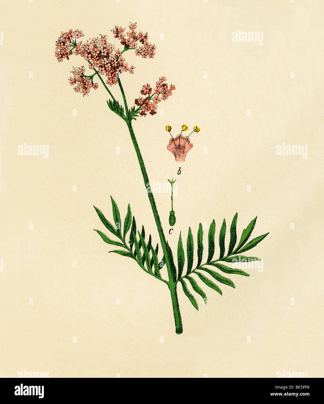 Valerian, historical illustration from: Moritz Willkomm: Naturgeschichte des Pflanzenreichs, Natural history of - Stock Image