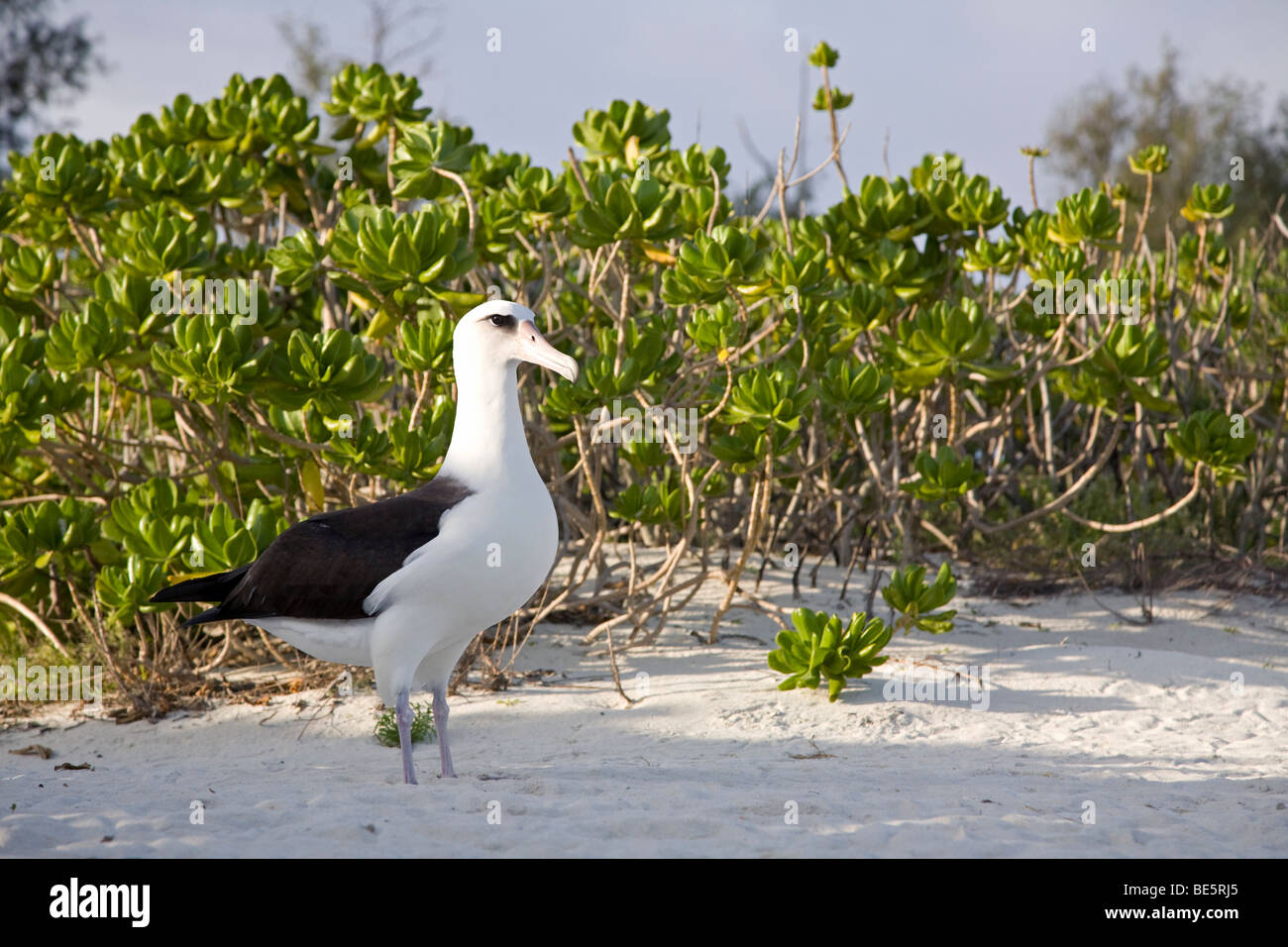 Laysan Albatross (Phoebastria immutabilis) in Naupaka shrubs on the beach of a North Pacific island - Stock Image
