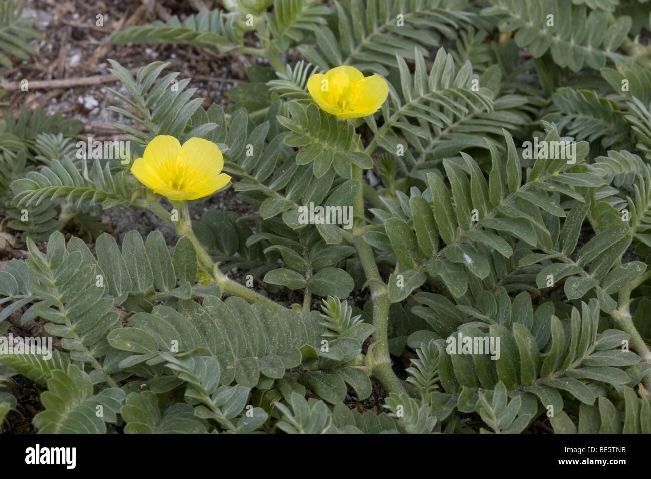 Puncture Vine (Tribulus cistoides) on Midway Atoll Stock Photo