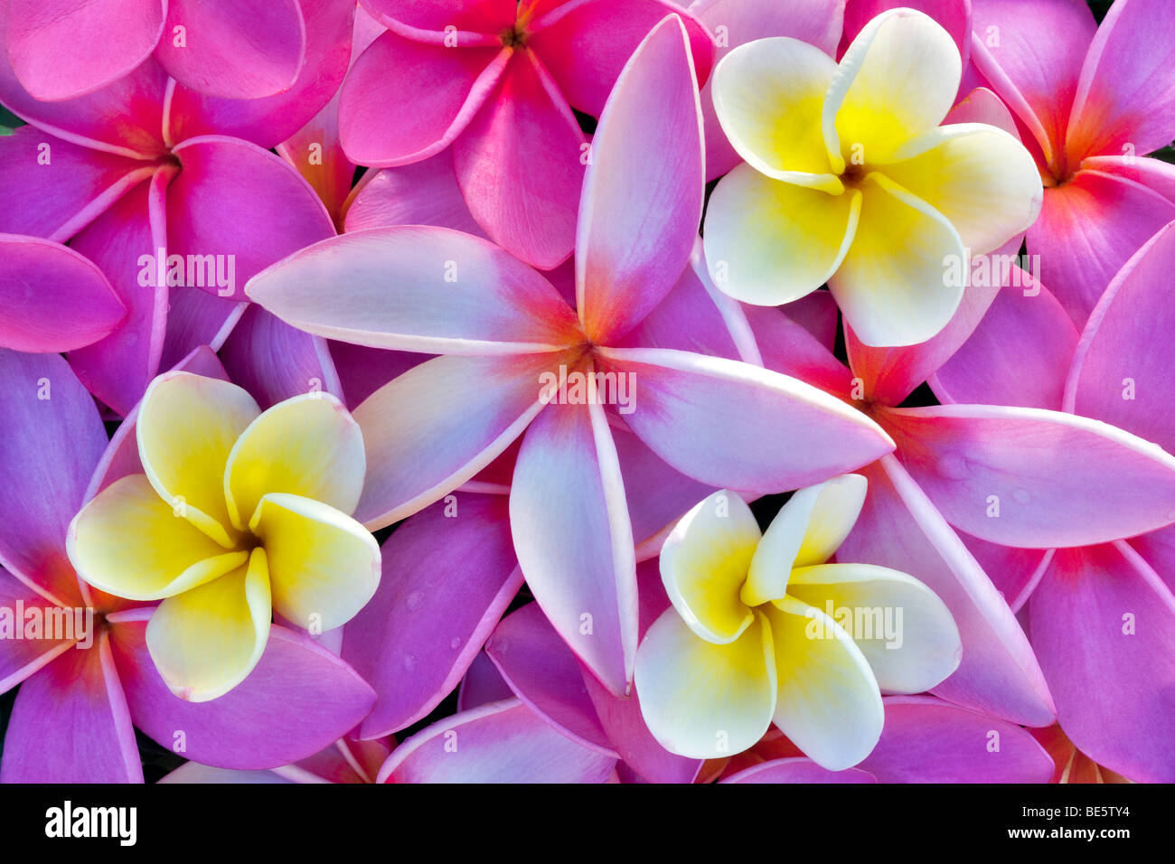 Red and yellow plumeria or frangipani. Kauai, Hawaii. - Stock Image