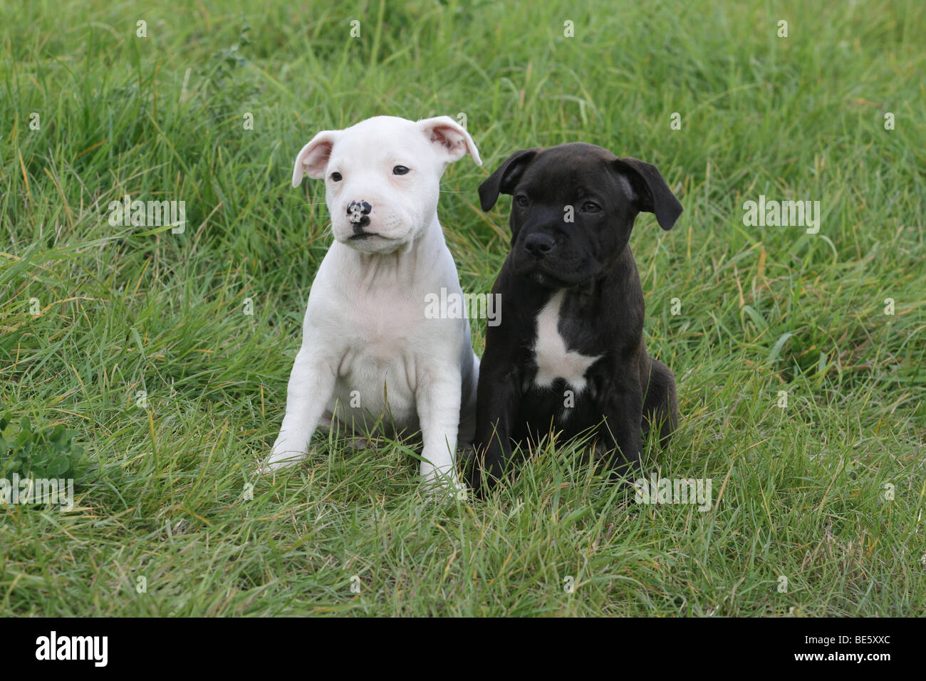 2 Staffordshire Bull Terrier puppies, 6 weeks old, sitting side by side on the lawn Stock Photo