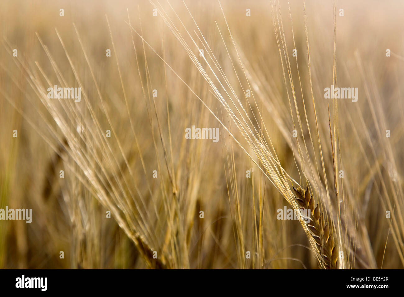 wheat field; summer; cornwall - Stock Image