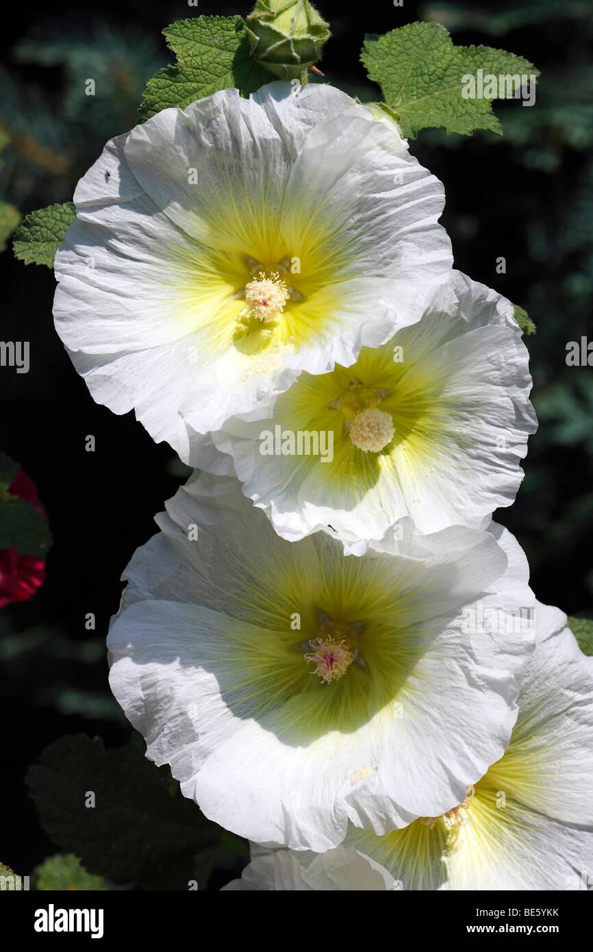 White Common Hollyhock (Alcea rosea) (Althaea rosea) Stock Photo