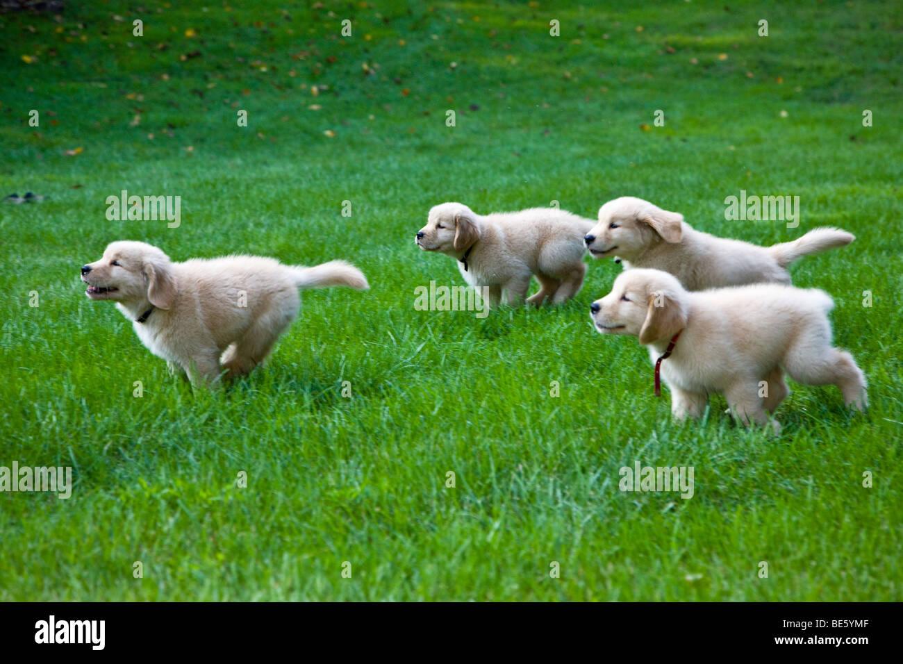 Eight Week Old Golden Retriever Puppies Running On The Grass Stock