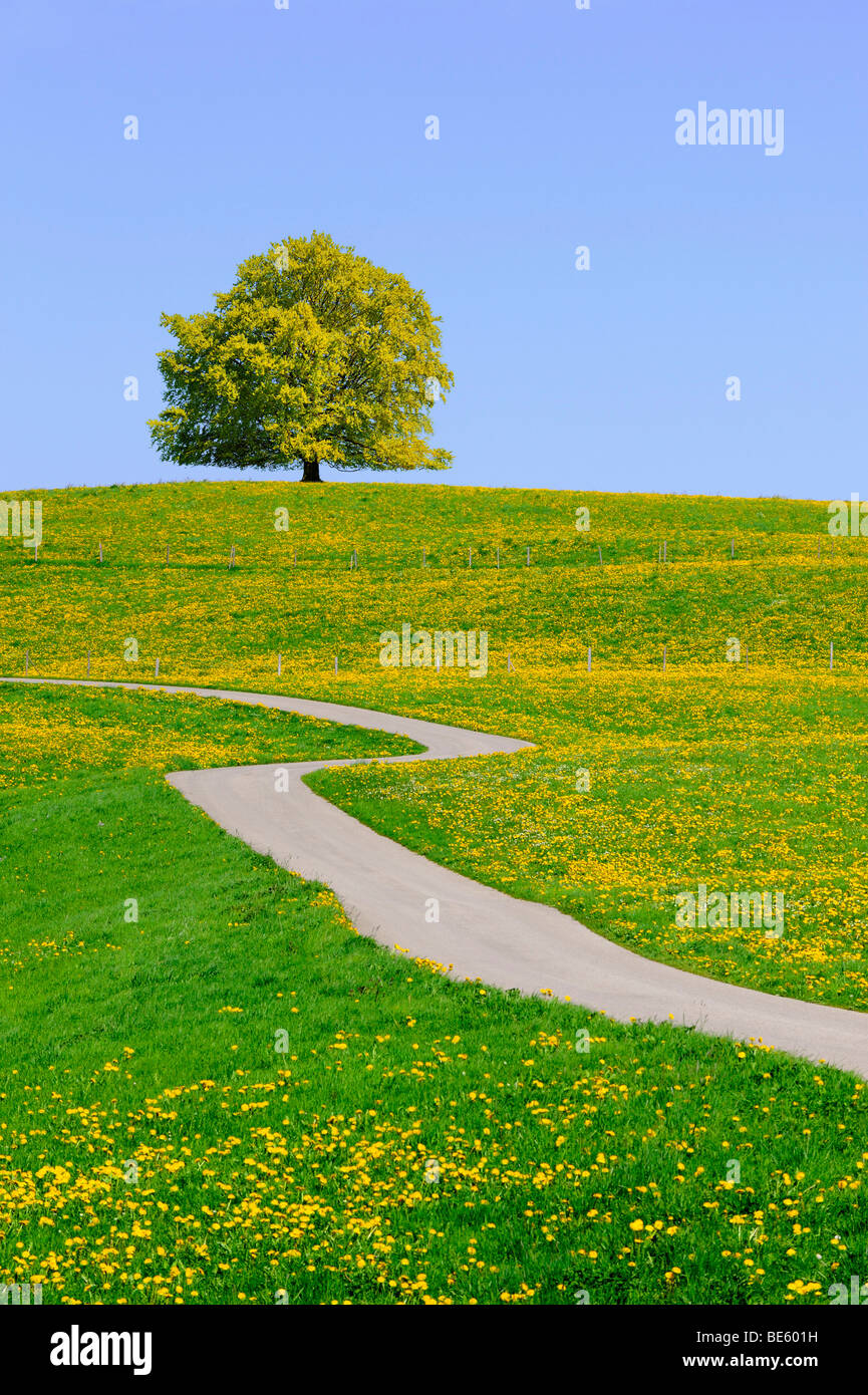 Spring meadow, copper beech tree and path, Allgaeu, Bavaria, Germany, Europe - Stock Image