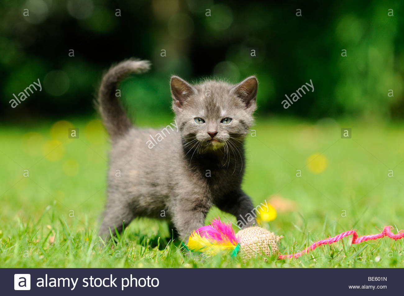 Cat (Felis catus), kitten - Stock Image