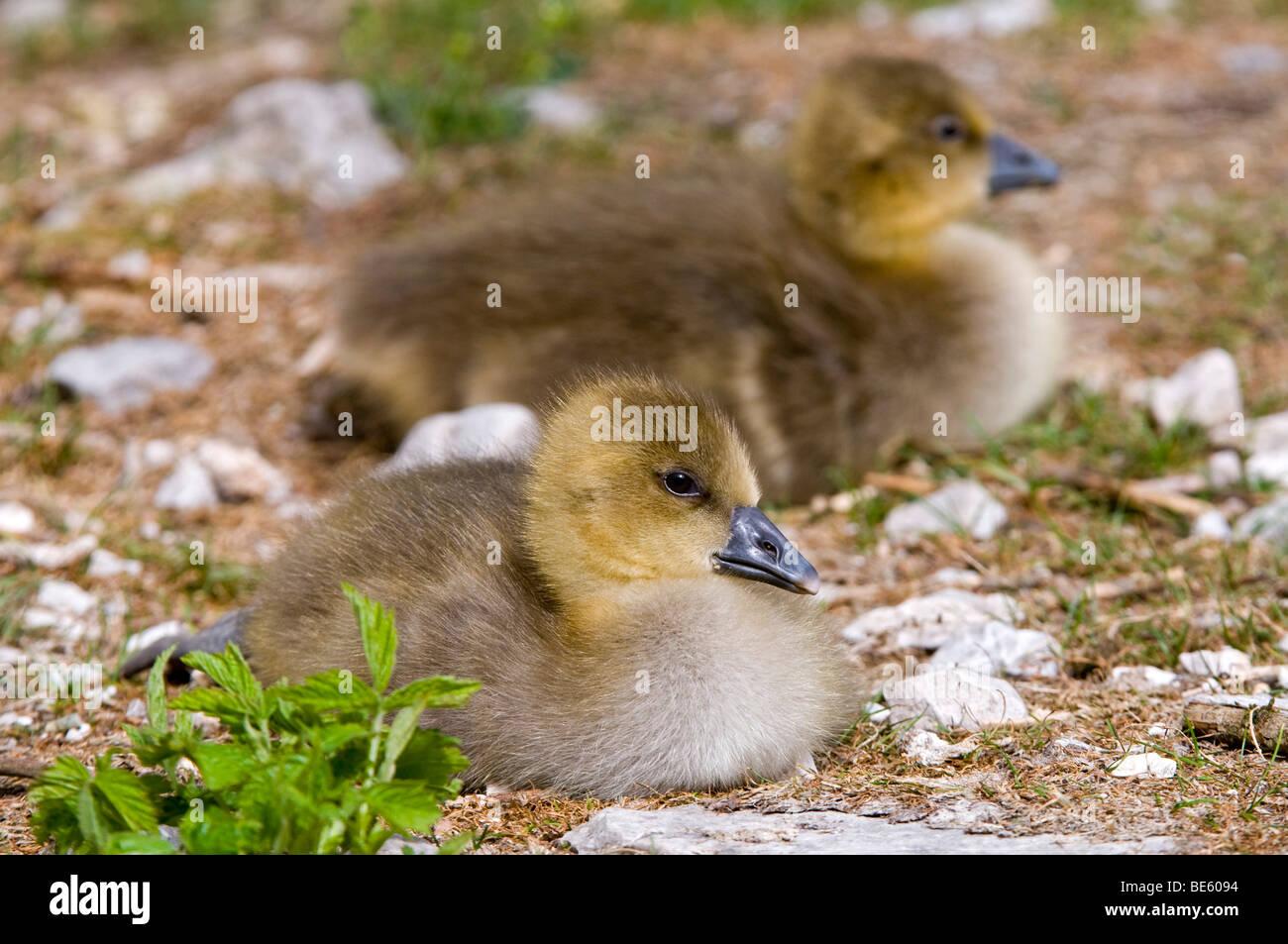 Two Greylag Geese (Anser anser), fledglings - Stock Image