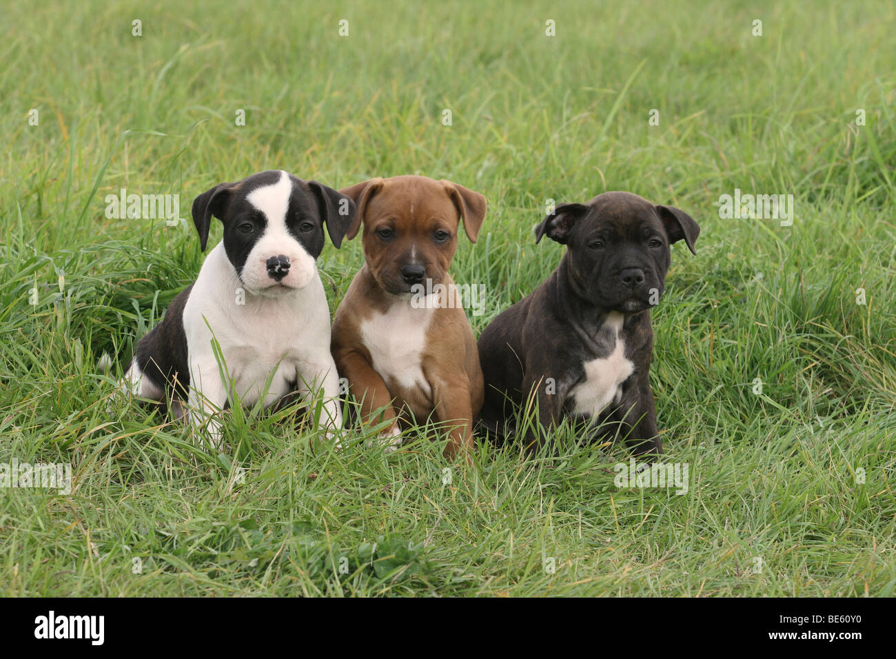 3 Staffordshire Bull Terrier puppies, 6 weeks old, sitting side by side on the lawn - Stock Image