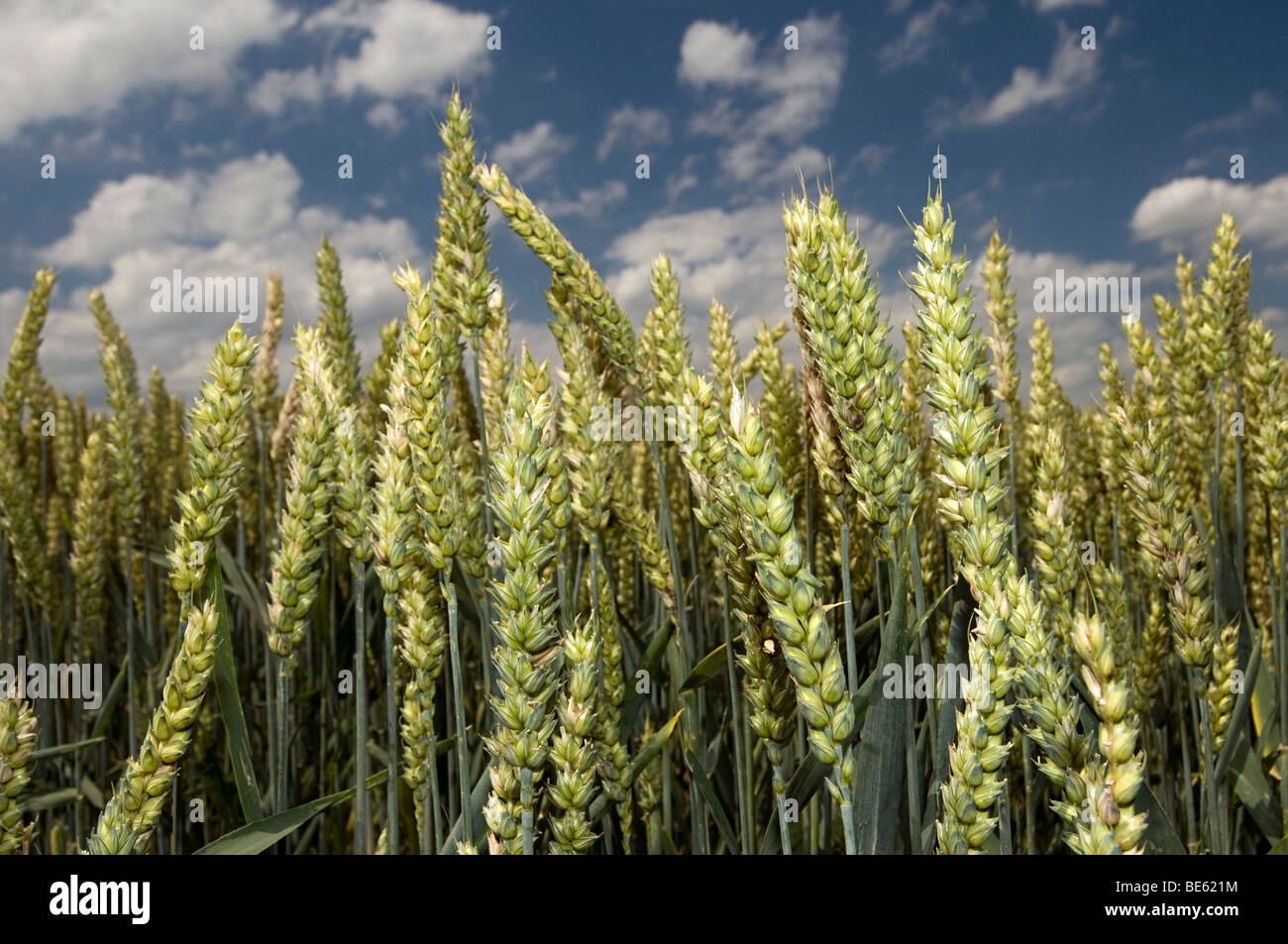 Wheat field (Poaceae triticum) Stock Photo