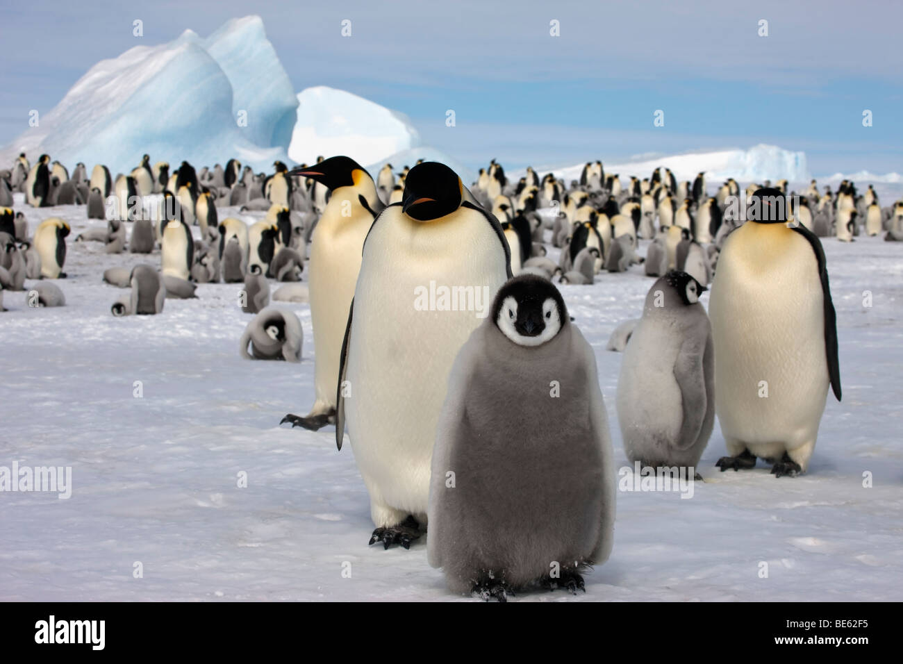 Breeding colony of Emperor Penguins at Snow Hill Island in Antarctica, fluffy adorable babies, icebergs, blue sky - Stock Image