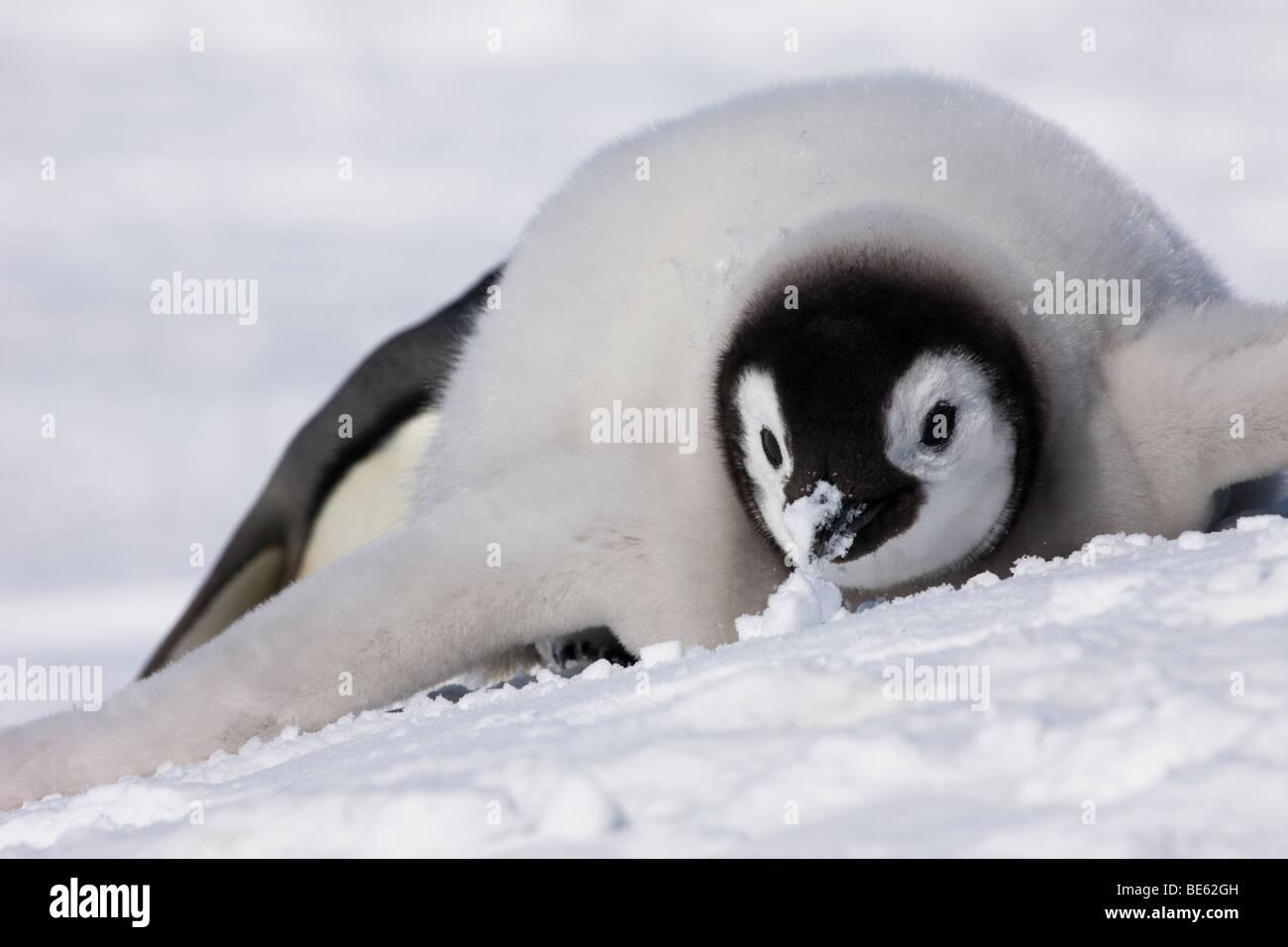 baby penguin in snow