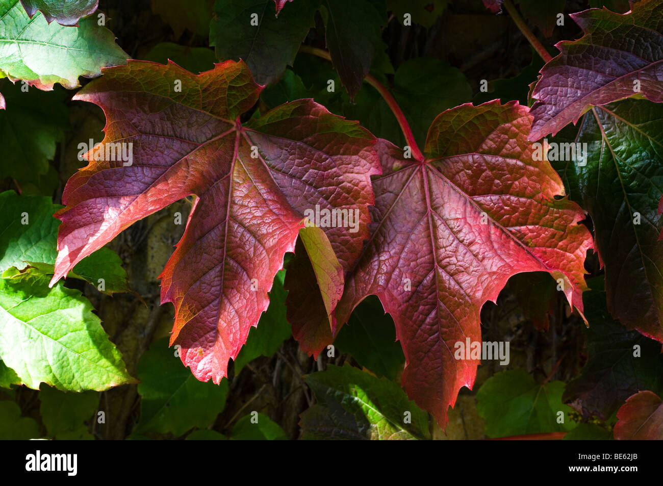 Leaves of Virginia Creeper turning red in the Autumn ( Fall ) - Stock Image