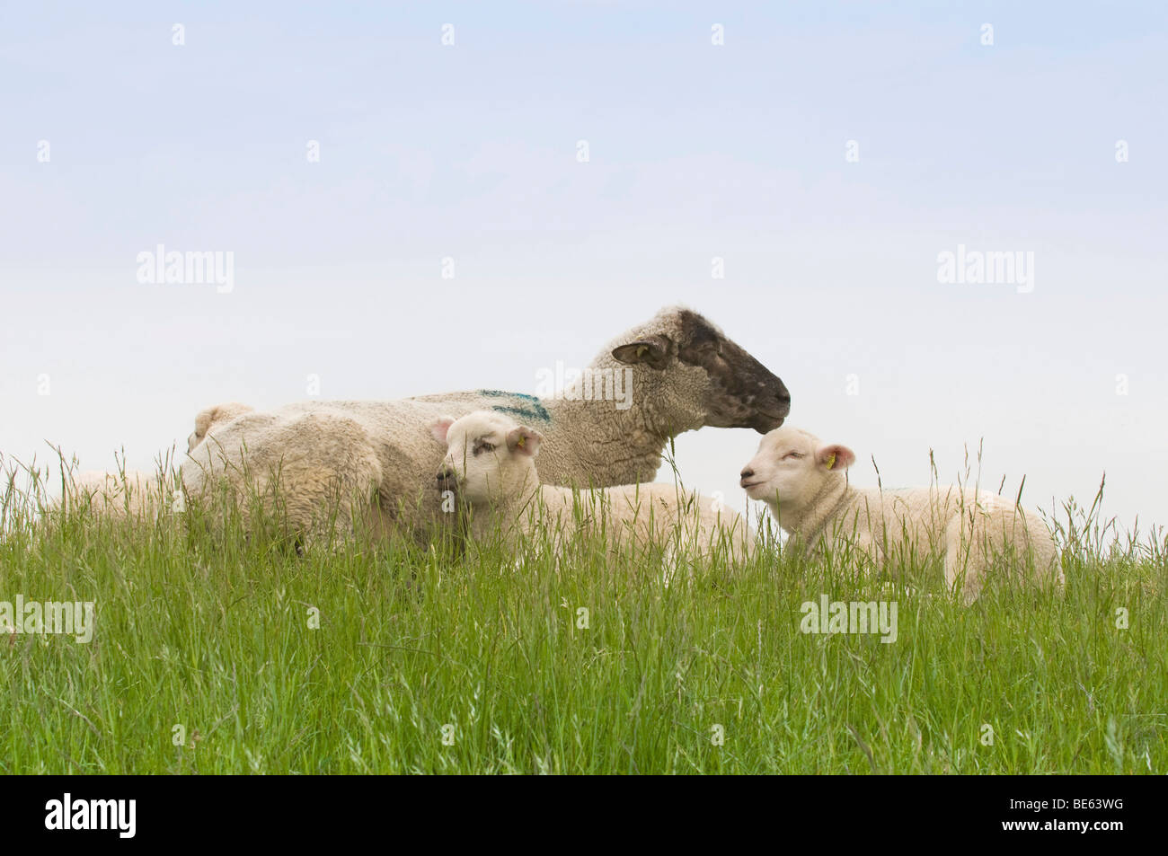 Sheep and two lambs lying on the dyke, Nationalpark Niedersaechsisches Wattenmeer, Lower Saxony Wadden Sea National Stock Photo