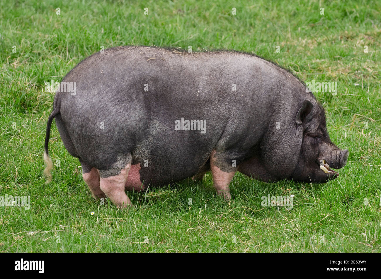 Pot-bellied pig (Sus scrofa f. domestica), boar on pasture - Stock Image